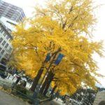 横浜の街中イチョウが見頃