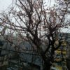 ハウスに梅が咲いていた
